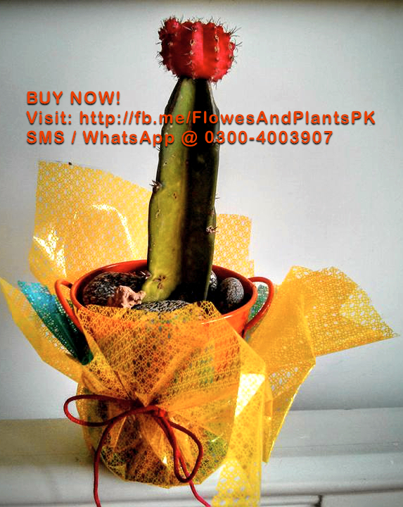 Flowers-Plants-Buy-Online-Gift-Lahore-Pakistan-Grafted-Red-Flower-Cactus