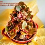 crassula-plant-pakistan-lahore-karachi-price-buy-sale-best-nursery-plants