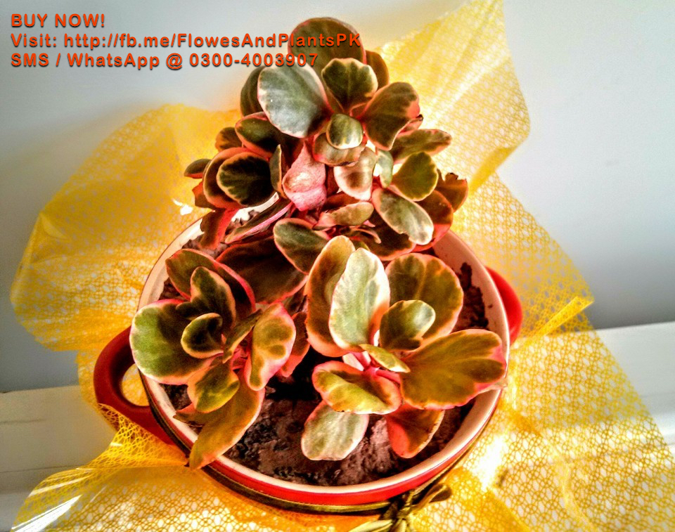 crassula-plant-pakistan-lahore-karachi-price-buy-sale-best-nursery-plants