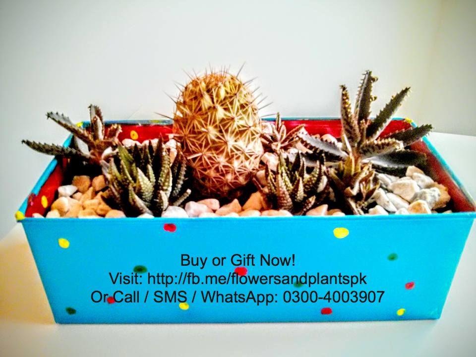 Flowers-Plants-Buy-Online-Gift-Lahore-Pakistan-Cacti-Cactus-Dish
