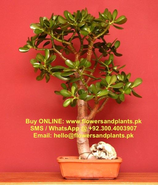 Crula Plant Bonsai Stan La Karachi Price